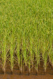 Sandiga ricefält Arkivfoto