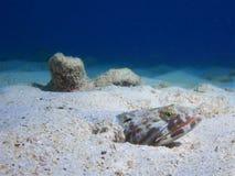 Sandiver lizardfish som begravas delvist i sanden, Bonaire, nederländska Antillerna Arkivfoto