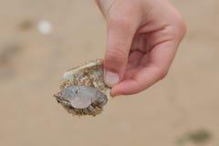 Sandkrabba på Shell Fotografering för Bildbyråer