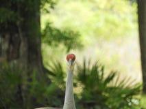 Sandkulle Crane Bird i skogen av centrala Florida arkivfoto