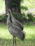 Sandkulle Crane Bird i skogen av centrala Florida arkivfoton