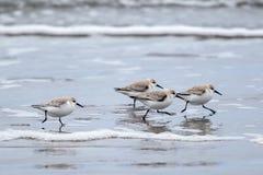 Sandlerings que corre na linha costeira fotografia de stock