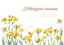 Sandless immortellebakgrund Gul blommaHelichrysumarenarium medicinal växt Dragen illustration för vattenfärg hand, isolat vektor illustrationer