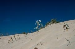 Sandlilja på en medelhavs- dyn Arkivbild