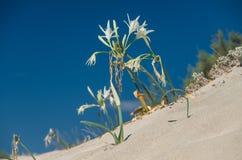 Sandlilja på en medelhavs- dyn Royaltyfri Foto