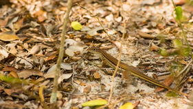 Sandlizard de Speke Photo libre de droits