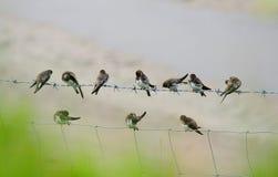Sandmartins lissant (riparia de Riparia) Photographie stock