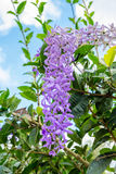 Sandpaper Vine , Purple Wreath, Queen's Wreath purple violet bun Stock Photo
