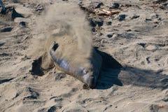 Sandpappra elefantskyddsremsor som lägger på stranden som solbadar i USA Royaltyfria Foton