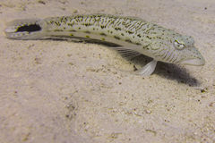 Sandperch Royaltyfria Bilder