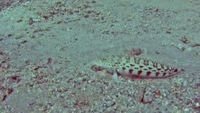 Sandperch manchado en el mar tropical en el arrecife de coral metrajes