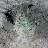 Sandperch - Red Sea royalty free stock photography