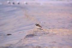 Sandpfeifer auf dem Strand Lizenzfreie Stockbilder