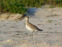 Sandpipblåsare på stranden, Florida, haemastica för Limosa för Hudsonian godwit arkivbilder