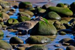 Sandpipblåsare som söker efter föda i tidvattentipsen för mat royaltyfria foton