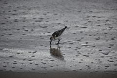 sandpiper Fotos de Stock