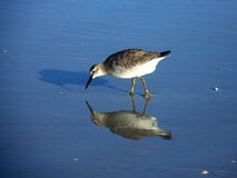 Sandpiper 2 Stock Photography