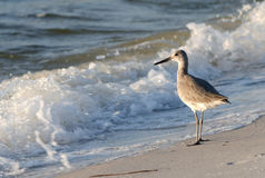 Free Sandpiper Stock Photography - 21394472