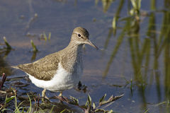 Sandpiper Royalty Free Stock Image