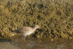 sandpiper stock foto's