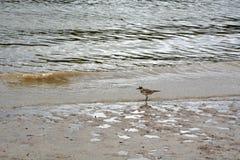 sandpiper stock fotografie