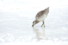 Sandpiper Royalty Free Stock Images