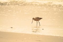 Sandpiper on beach Stock Photo