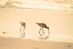 Sandpiper on beach Stock Photography