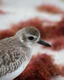 Sandpiper on the Beach royalty free stock image