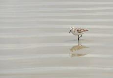 Sandpiper bird at beach Stock Photo