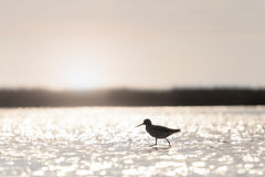 Sandpiper among beautiful bokeh in water at sunrise royalty free stock images