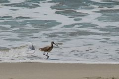 Sandpiper bird Royalty Free Stock Photography