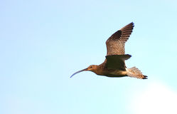 Sandpiper bird in flight sky Stock Photo
