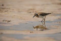 Sandpiper bird in Las Coloradas in Mexico. Reflection of sea bird, birdwatching in Mexico royalty free stock photography