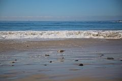 Sandpiper bird ocean Royalty Free Stock Image