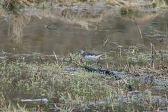 Sandpiper bird in the Stock Image