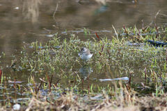 Sandpiper bird Royalty Free Stock Images