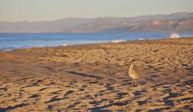 Sandpiper bird Stock Image