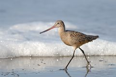 Sandpiper Bird Walking on Beach with Sea Foam Royalty Free Stock Photo