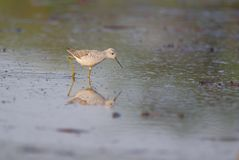 Sandpiper bird walking in water. Of pond for searching food. this bird are very small. beak are black.  body are  brown and  white, and leg are yellow   color Royalty Free Stock Photography