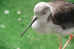 Sandpiper bird at the zoo stock images