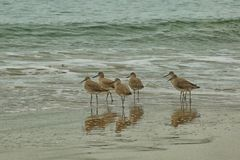 Sandpiper birds. Group of tan sandpiper birds wading in the shallow waves of the Pacific Ocean along the sandy coastline of Southern California Stock Image