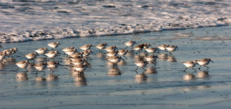 Sandpiper Birds Run Up Beach Feeding Sand Ocean Surf Royalty Free Stock Images