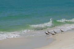 Sandpiper birds on sandy beach Royalty Free Stock Image