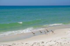 Sandpiper birds on sandy beach stock photos
