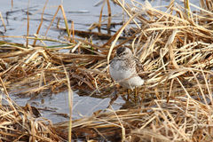 The sandpiper on a bog Royalty Free Stock Photos