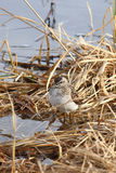 The sandpiper on a bog Royalty Free Stock Photography