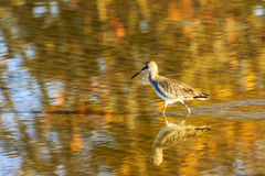 Sandpiper at Bunche Beach Royalty Free Stock Images