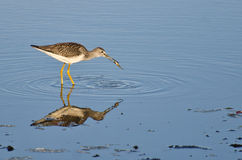 Sandpiper Catching a Fish Stock Photo