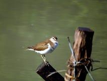 Sandpiper comune Fotografia Stock Libera da Diritti